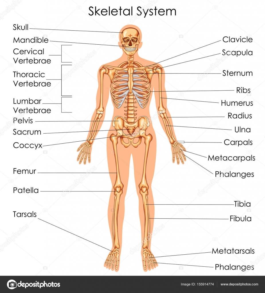 Gráfico de educación médica de la biología para el diagrama del ...