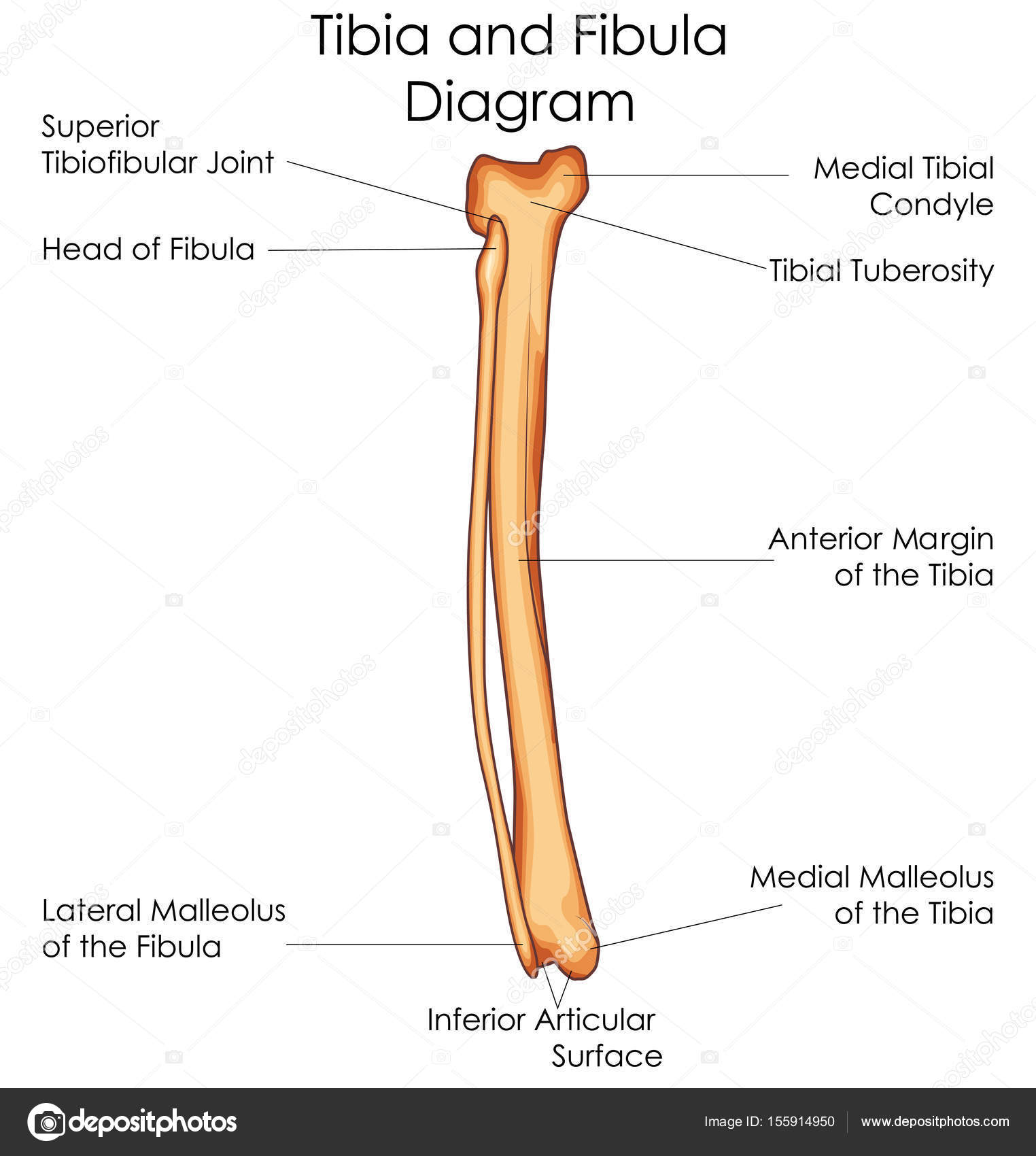 medical education chart of biology for tibia and fibula diagram Tibula and Fibula Blank Diagram medical education chart of biology for tibia and fibula diagram \u2014 stock vector