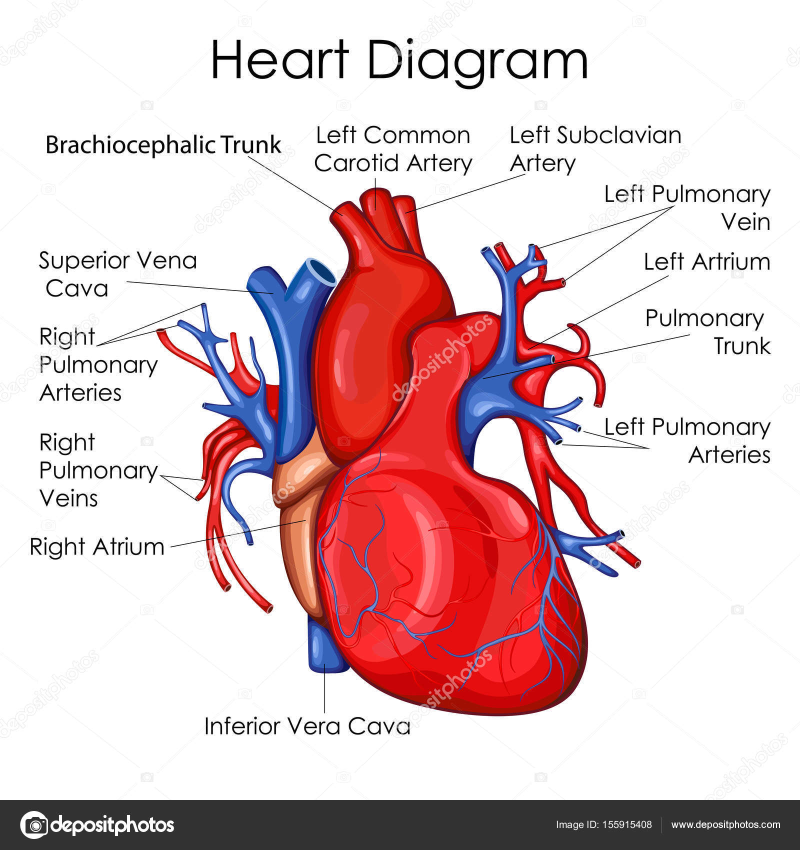Diagram Of The Heart Blood Flow also Femoral Ring Anatomy additionally Excretory System Humans Everything Need Know further Heart Diagram Chart moreover Respiratory System Of Diagram. on simple circulatory system