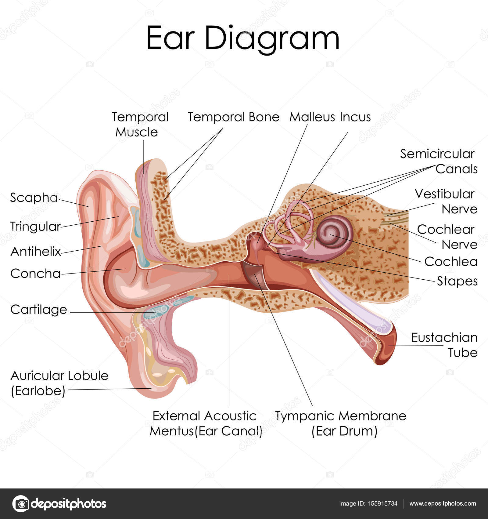 Medical education chart of biology for human ear diagram stock medical education chart of biology for human ear diagram stock vector ccuart Gallery
