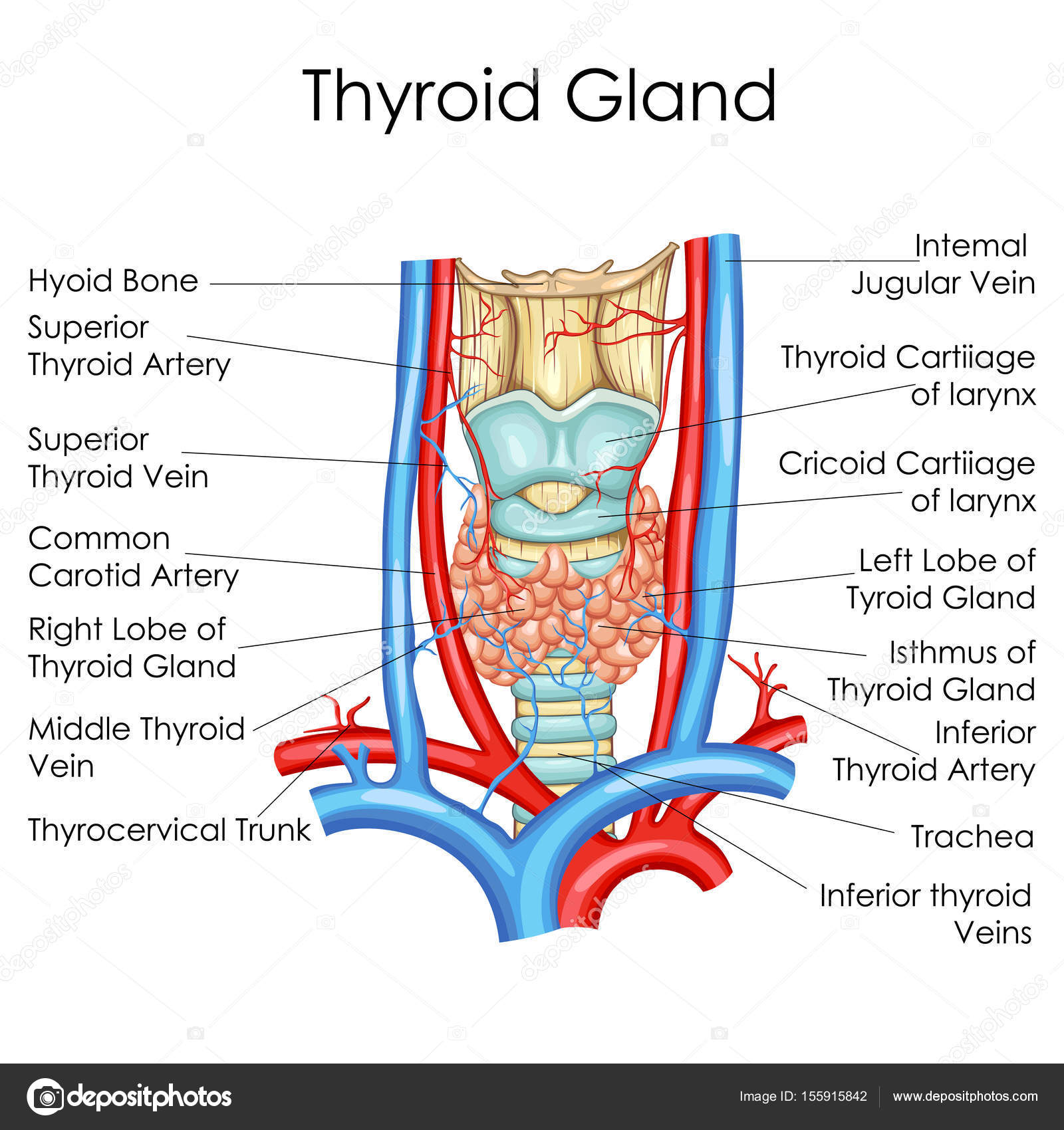 Medical education chart of biology for thyroid gland diagram medical education chart of biology for thyroid gland diagram stock vector pooptronica