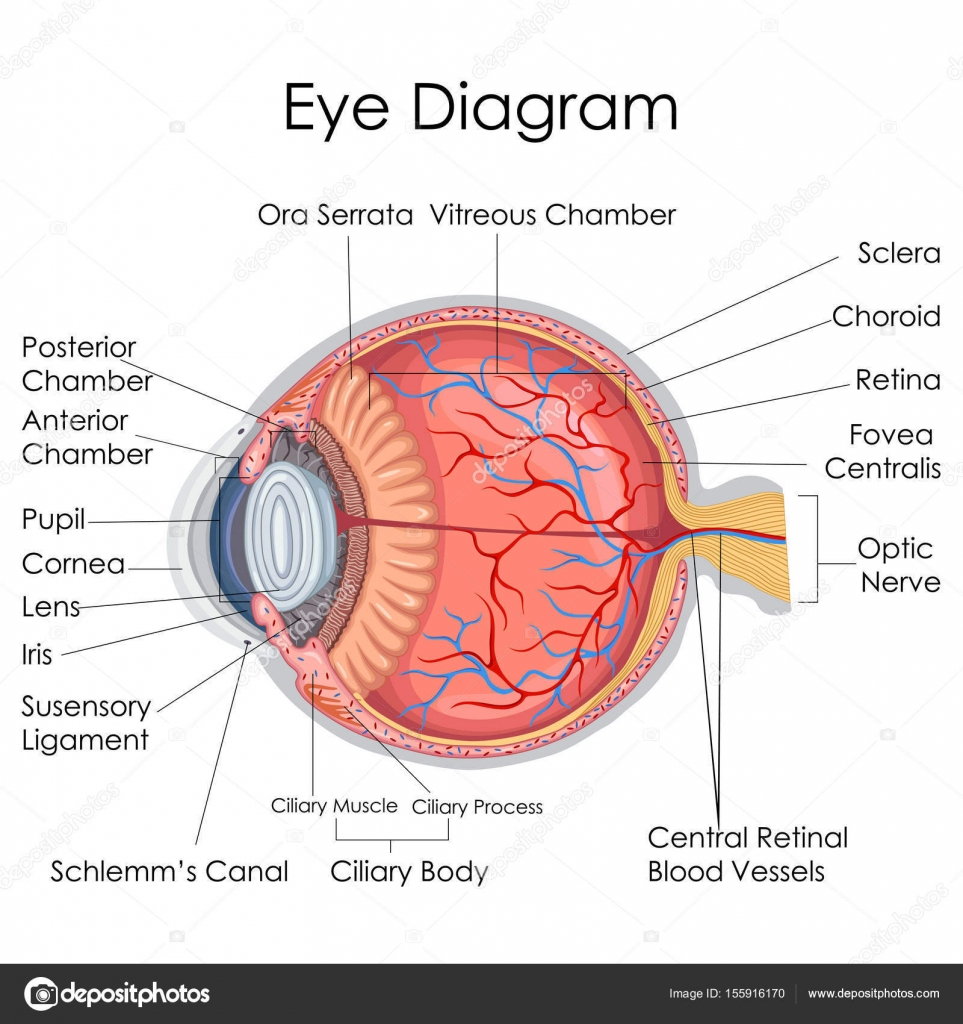 Medical education chart of biology for human eye internal diagram medical education chart of biology for human eye internal diagram stock vector ccuart Choice Image