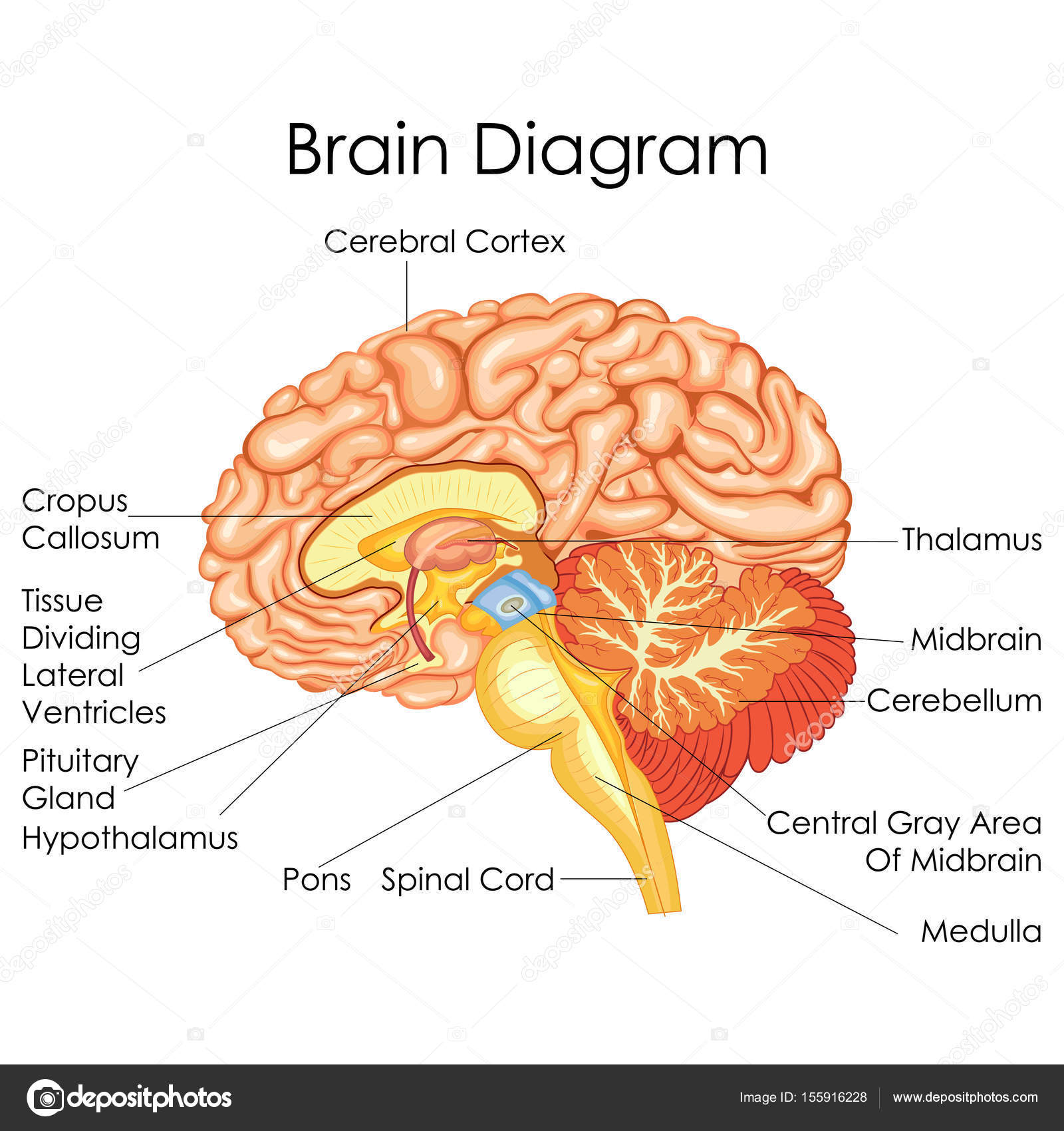 Human Brain Diagram With Cerebrum - DIY Enthusiasts Wiring Diagrams •