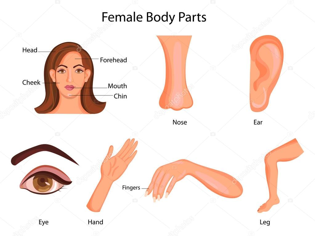 Medical Education Chart Of Biology For Female Body Parts