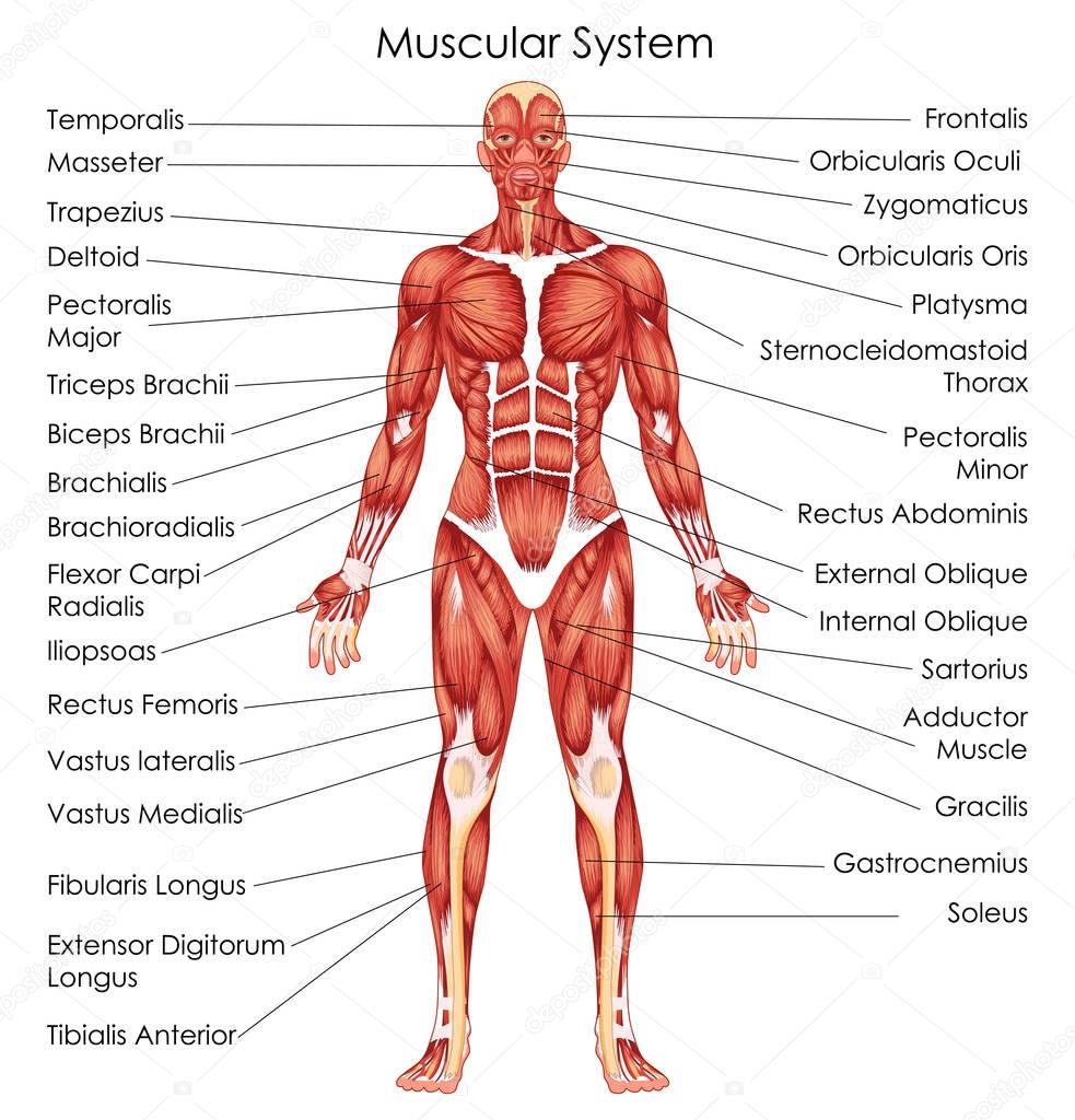 Medical Education Chart Of Biology For Muscular System