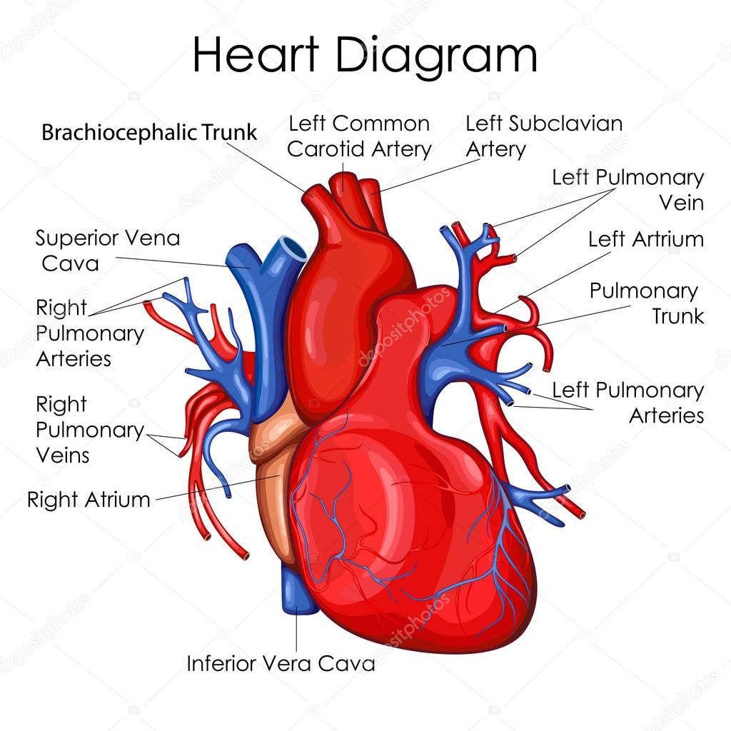 Medical Education Chart of Biology for Heart Diagram ...