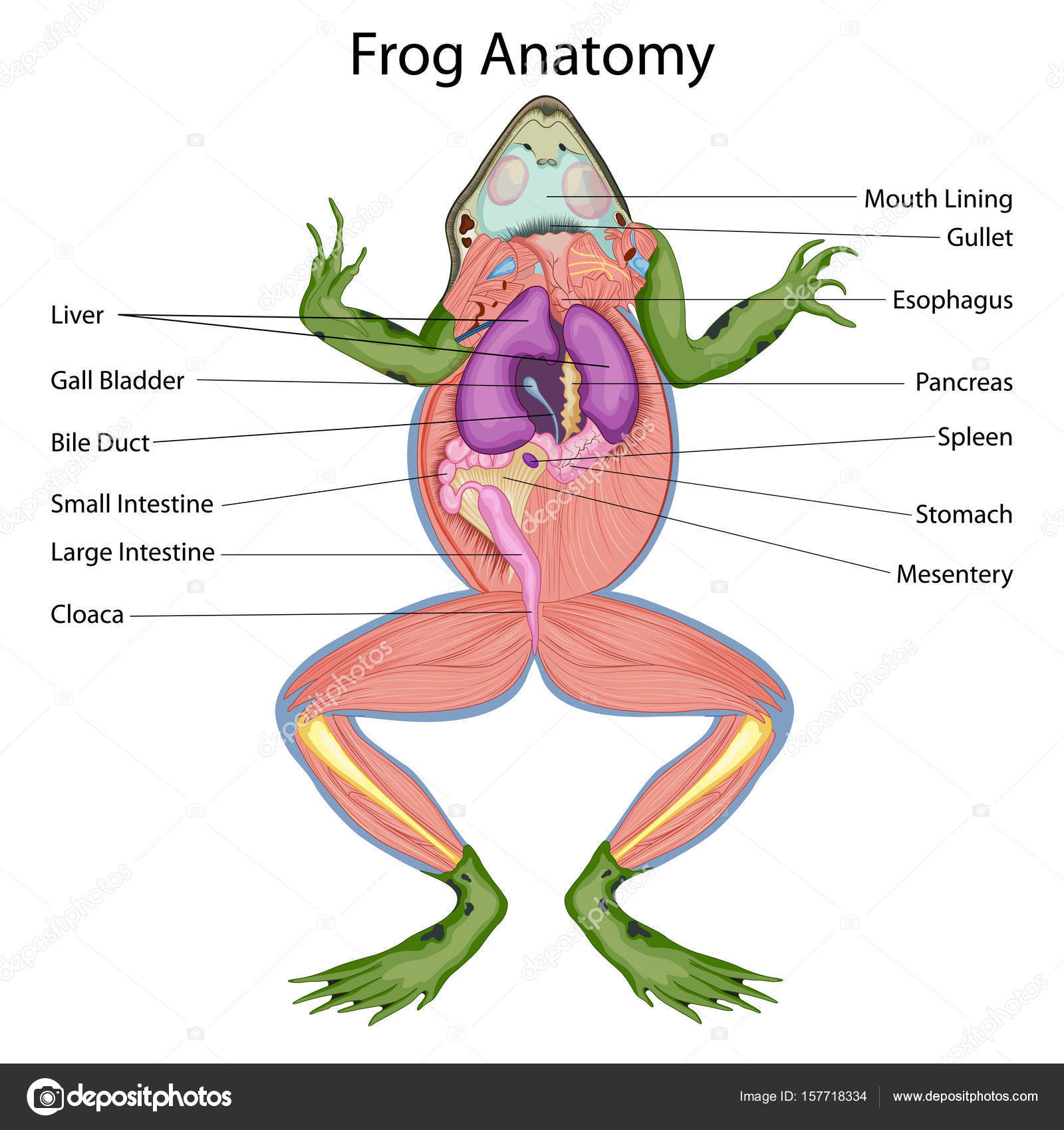 Education Chart of Biology for Dissected body of Frog Diagram ...