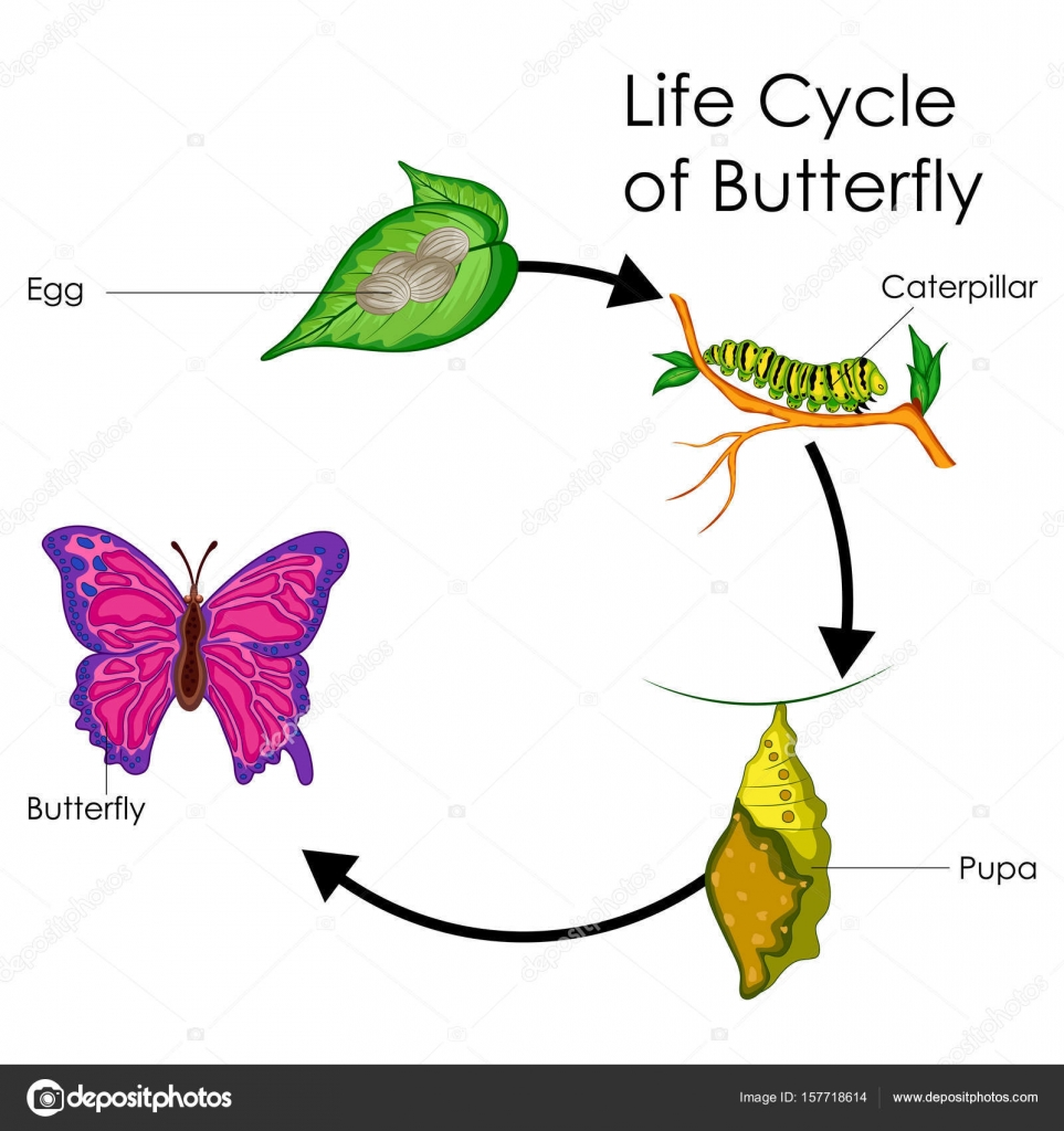Fantastisch Schmetterling Anatomie Diagramm Bilder - Menschliche ...