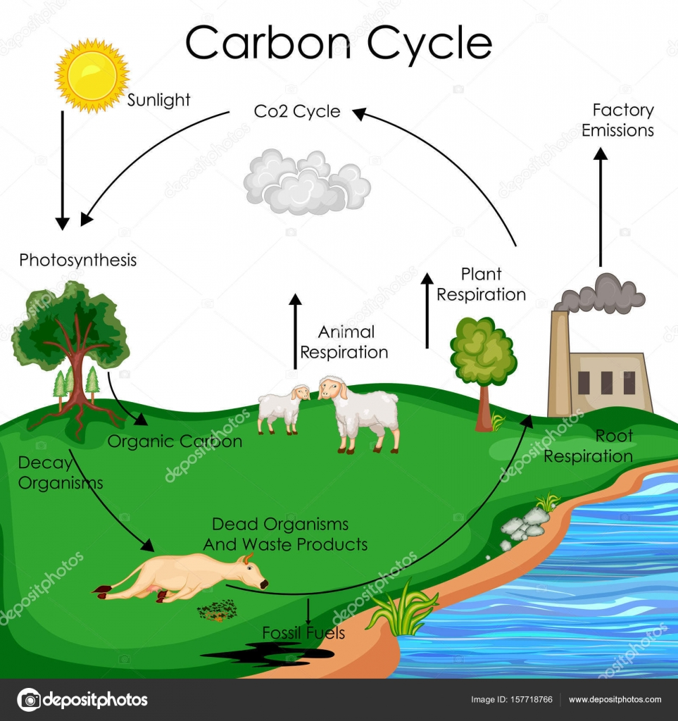 Download Carbon Cycle Diagram on Label The Diagram Of Water Cycle