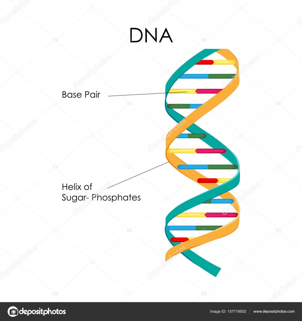 Education Chart Of Biology For Dna Structure Diagram Stock Vector