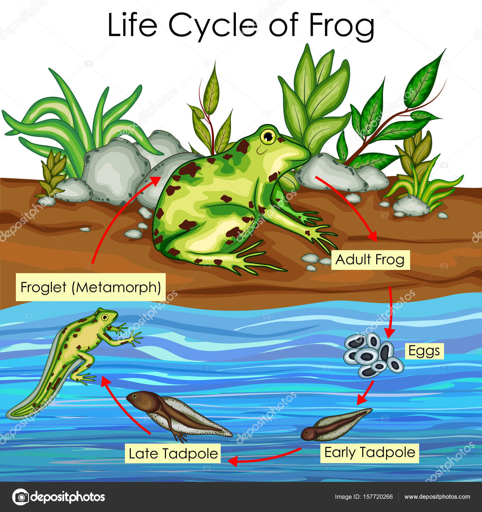 education chart of biology for life cycle of frog diagram — stock vector
