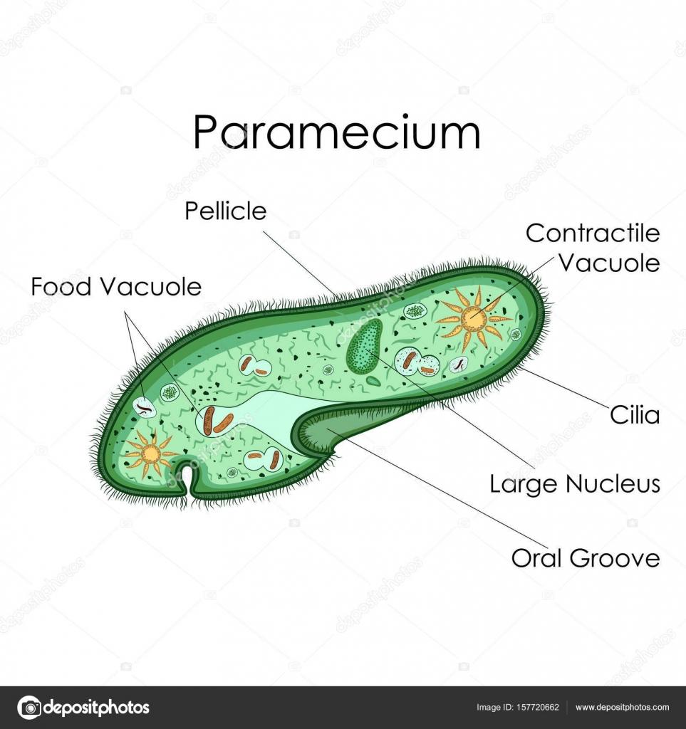 Bildung-Diagramm der Biologie für Paramecium Diagramm — Stockvektor ...