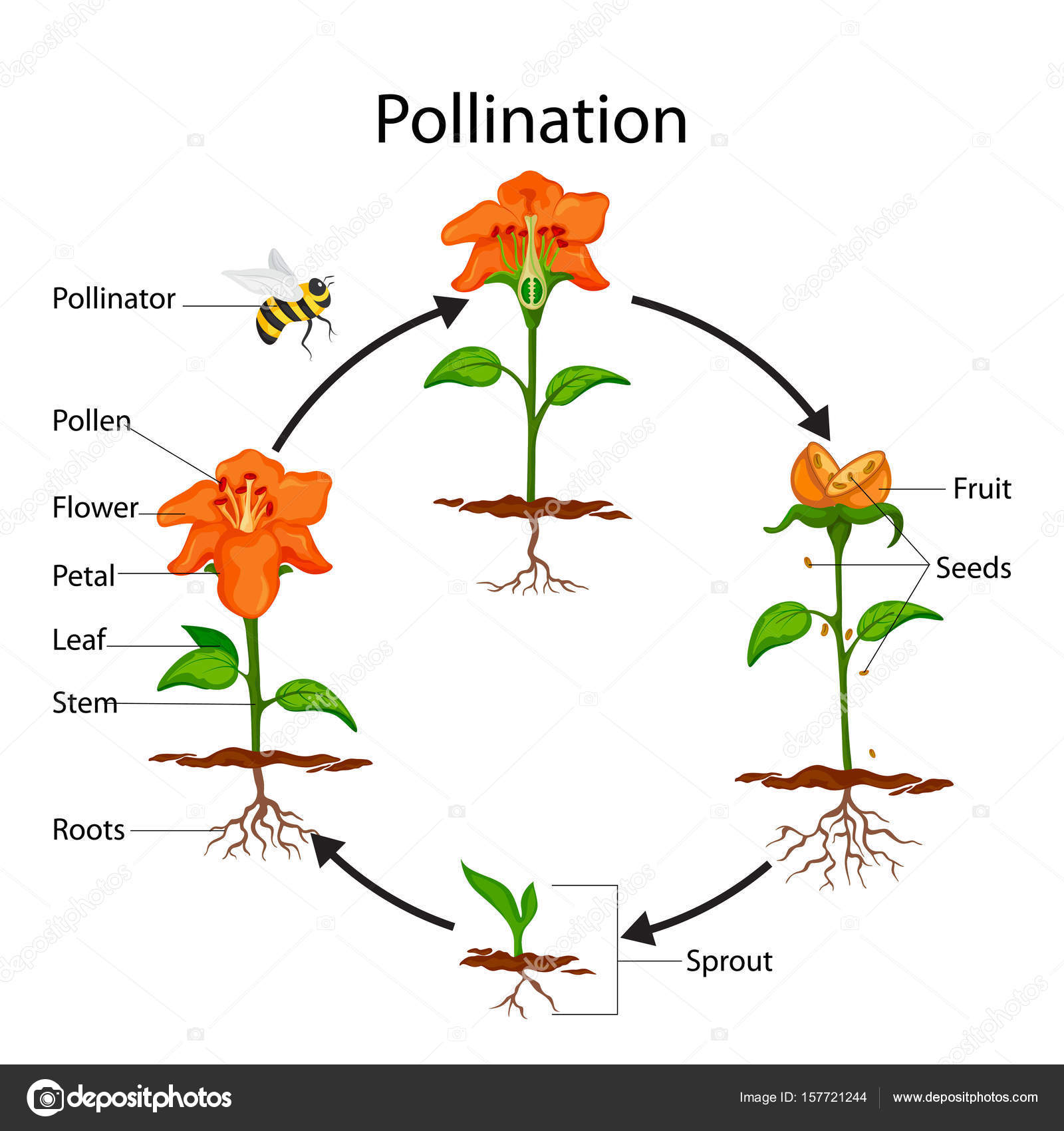 Education chart of biology for pollination process diagram stock education chart of biology for pollination process diagram stock vector ccuart Image collections