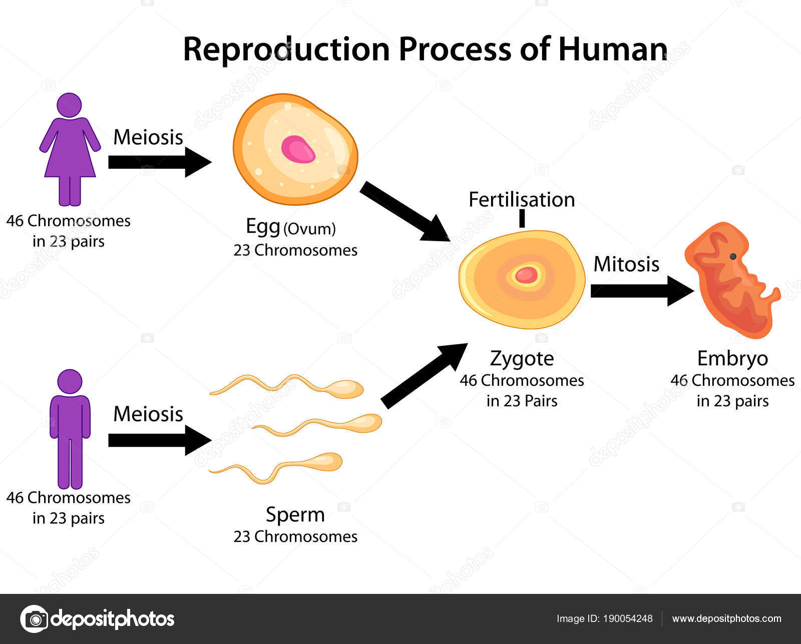 Education chart of biology for reproduction process of human diagram education chart of biology for reproduction process of human diagram vector illustration vector by vecton ccuart Images
