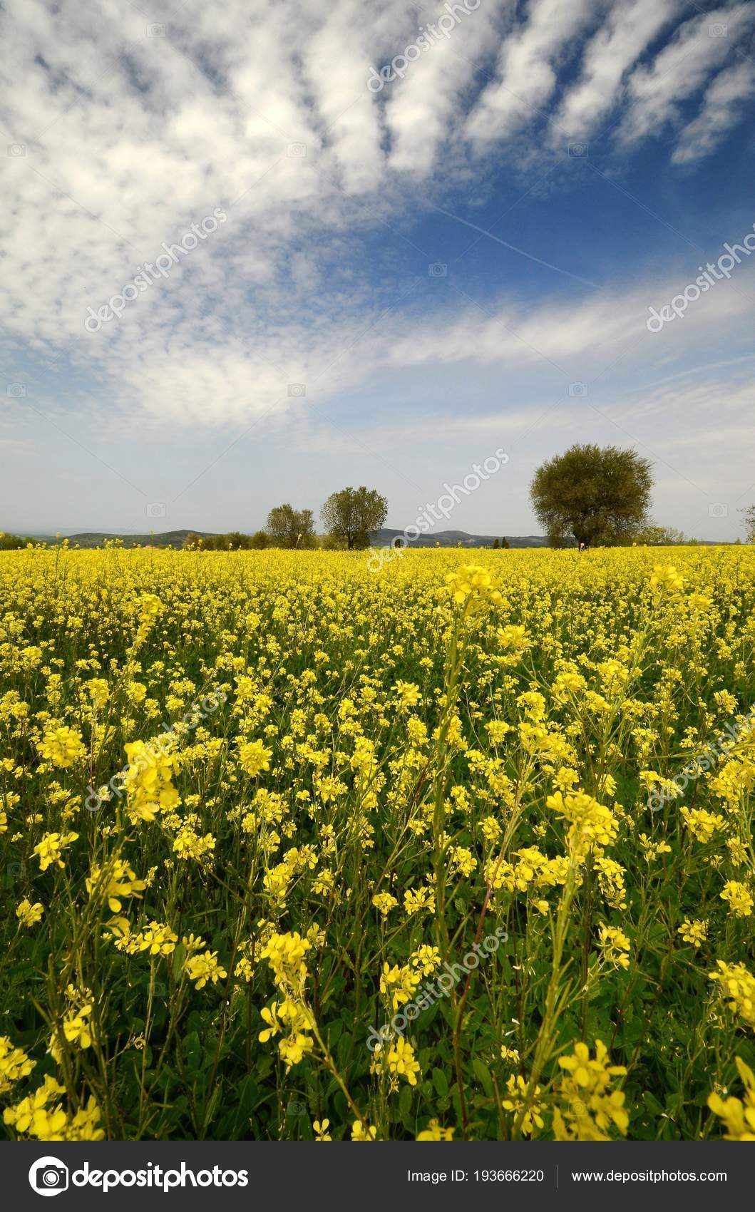 Fiori Gialli Toscana.Beautiful Field Yellow Flowers Olive Trees Tuscan Countryside