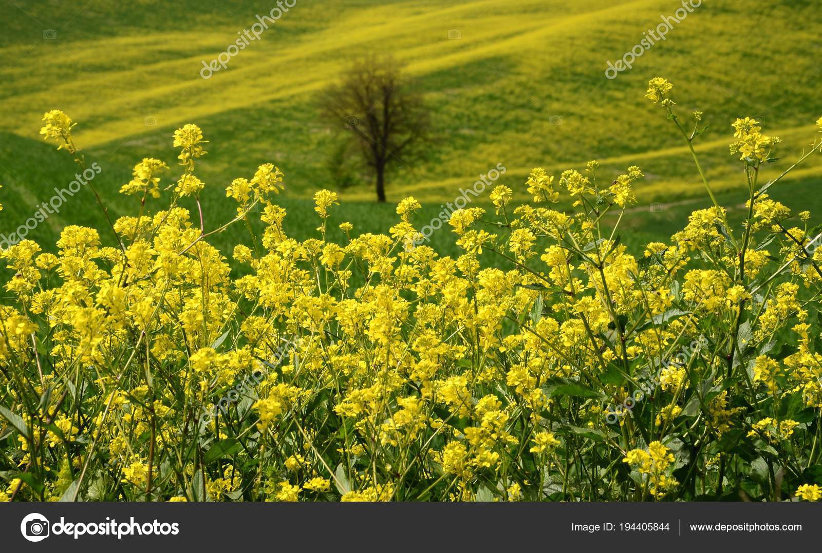 Fiori Gialli Campagna.Yellow Flowers Rolling Hills Tuscan Countryside Pienza Siena Italy