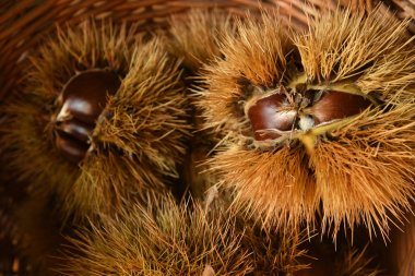 Closeup on chestnuts and curly. Raw chestnuts for Christmas. Autumnal food.