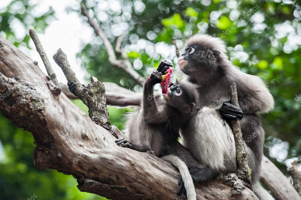 Baby and mother dusky leaf monkey
