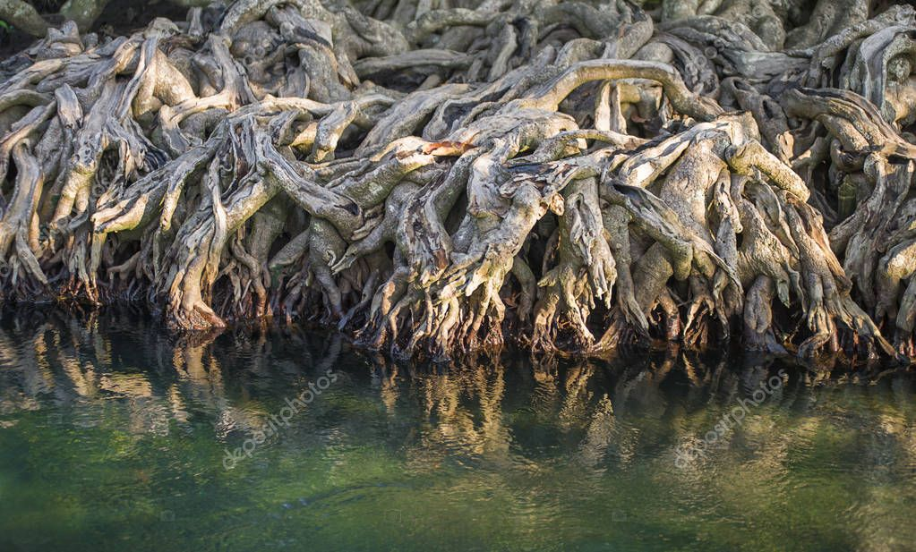 The mangrove forest in the swamp
