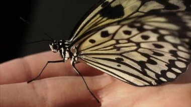 Beautiful butterfly is peacfully sitting on the hand.