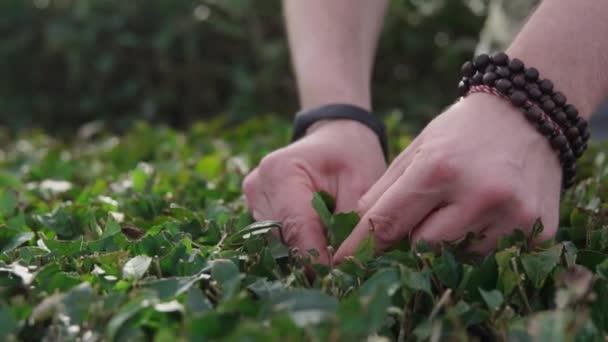 Uomo che cattura le foglie dai cespugli