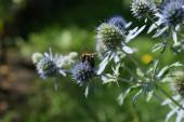 A bee on an eryngium flower