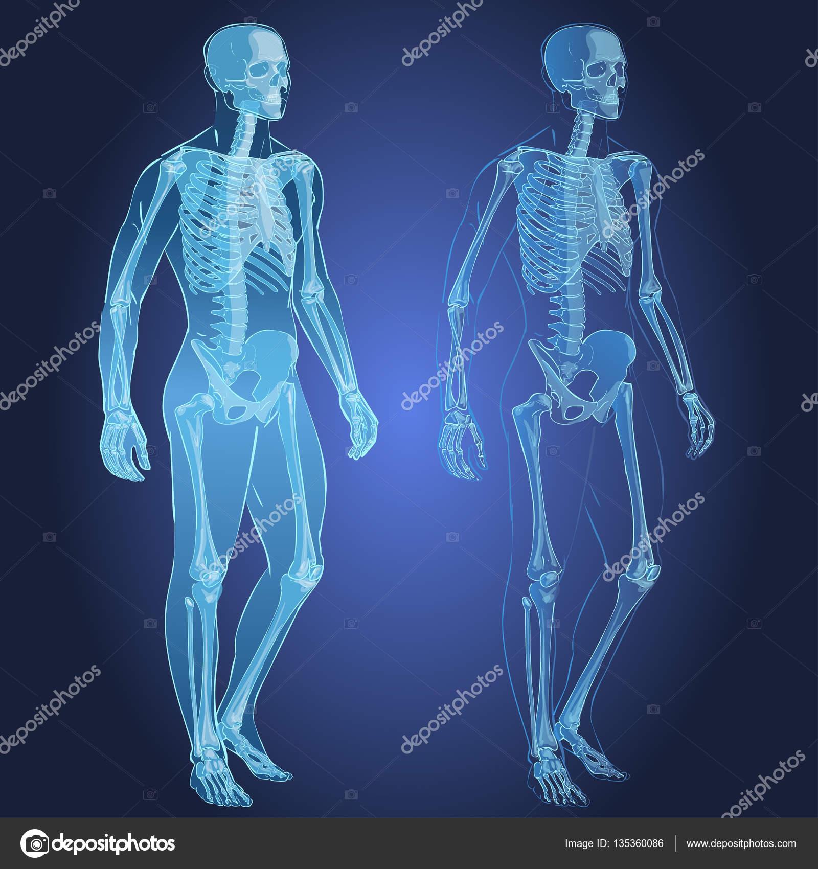 esqueleto y el cuerpo humano — Archivo Imágenes Vectoriales ...
