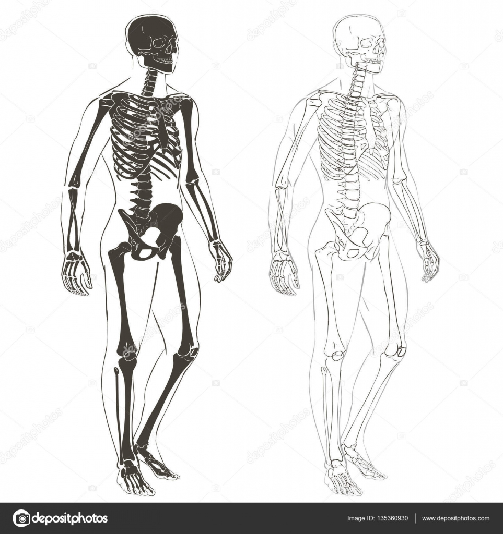 esqueleto y el cuerpo humano — Vector de stock © Bravoart #135360930