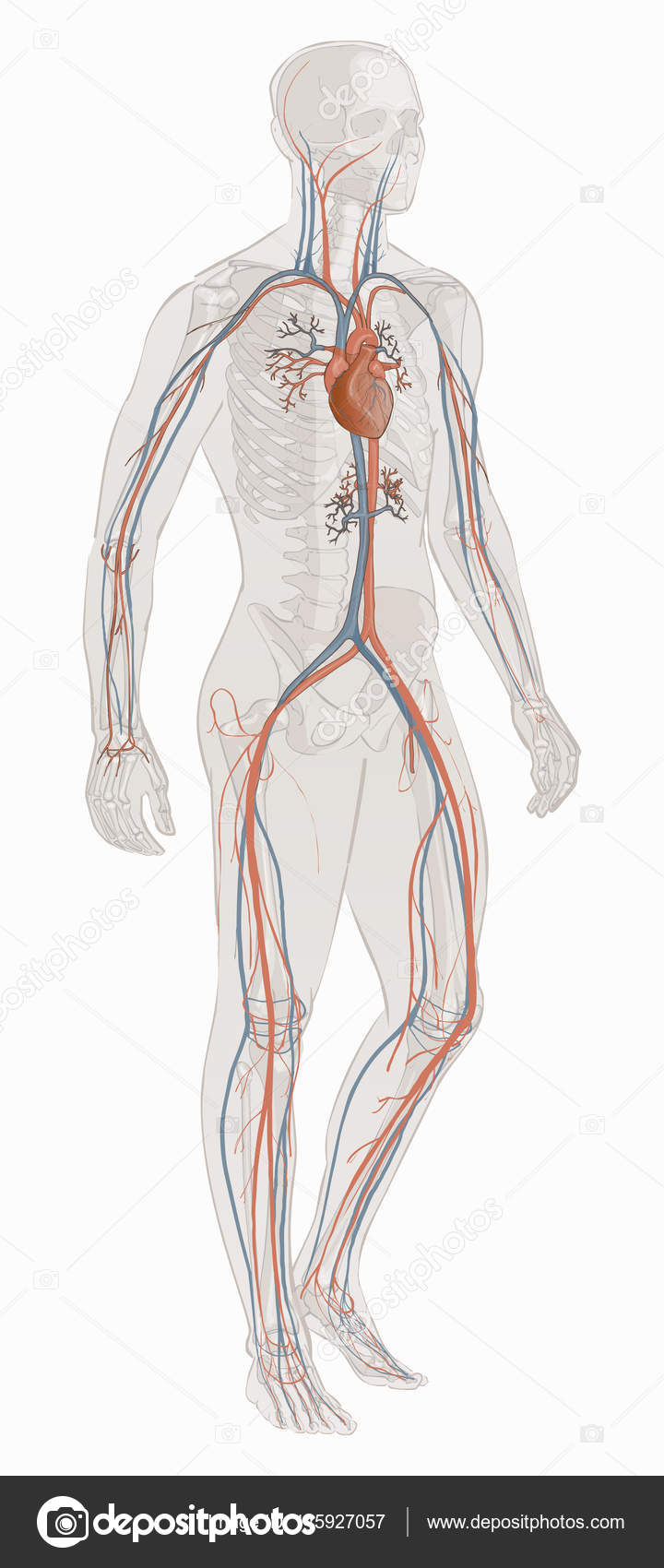 The circulatory vascular system vector — Stock Vector © Bravoart ...
