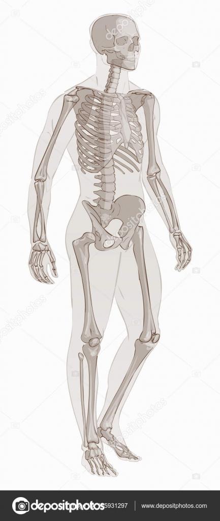 Man Skeletal Anatomy Vector Stock Vector Bravoart 145931297