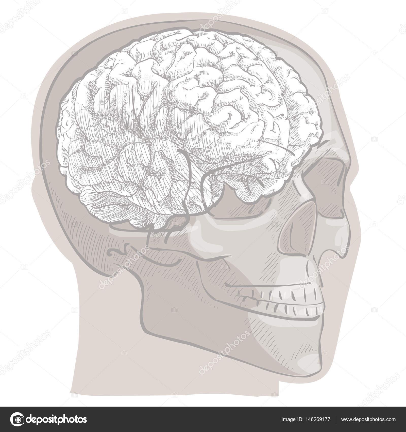 Anatomía cabeza cerebro humano — Archivo Imágenes Vectoriales ...