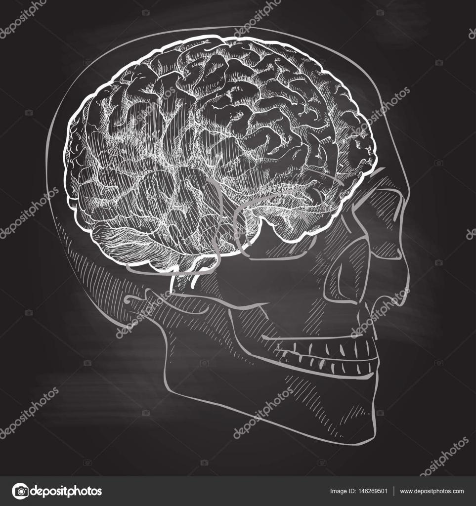 Anatomie des menschlichen Gehirns Kopf — Stockvektor © Bravoart ...
