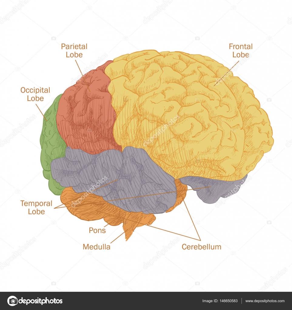 Anatomía cabeza cerebro humano — Vector de stock © Bravoart #146650583