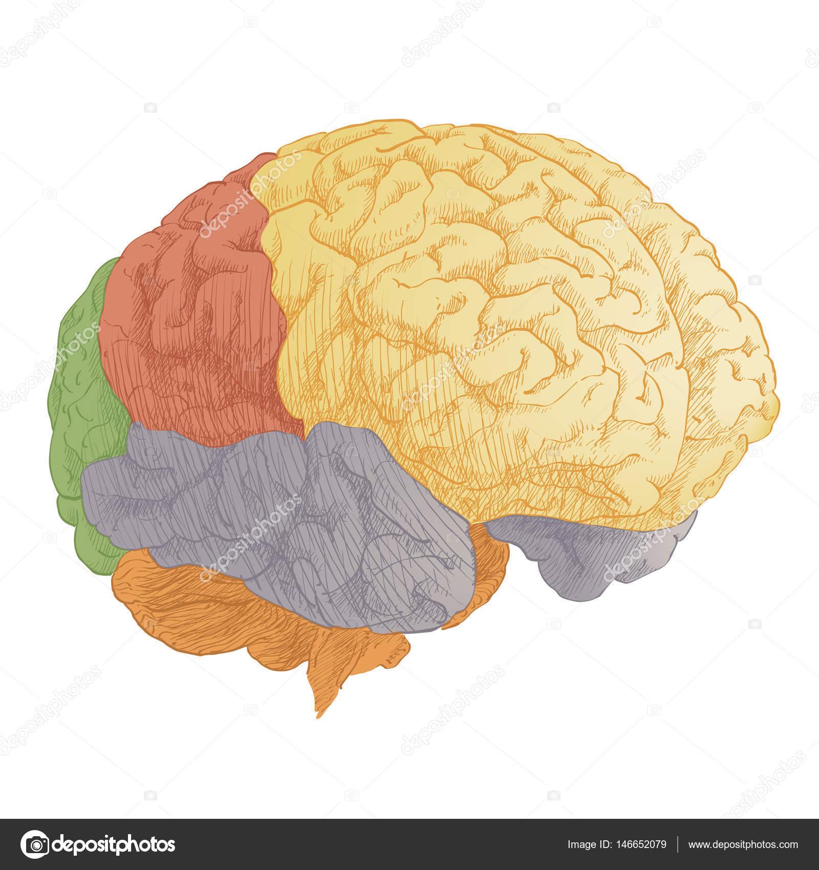 Anatomía cabeza cerebro humano — Vector de stock © Bravoart #146652079