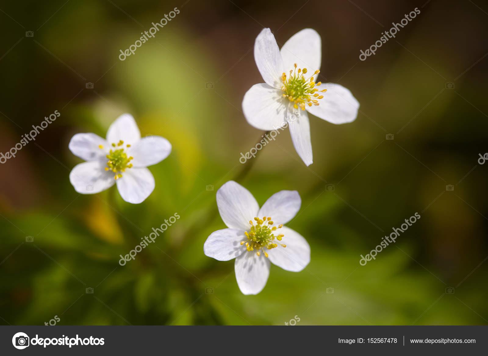 små vita blommor