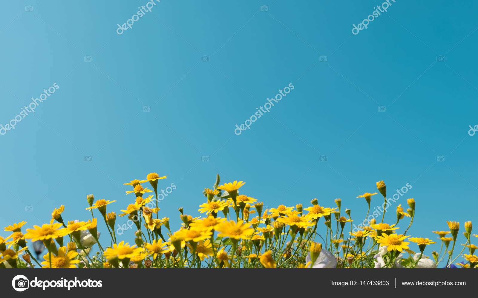 Yellow Daisy Flowers Meadow Field With Clear Blue Sky Bright Day