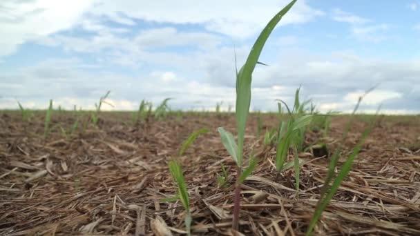 cukornád ültetvények mező