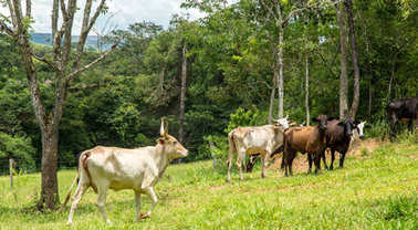 cattle farm montain pecuaria brazil