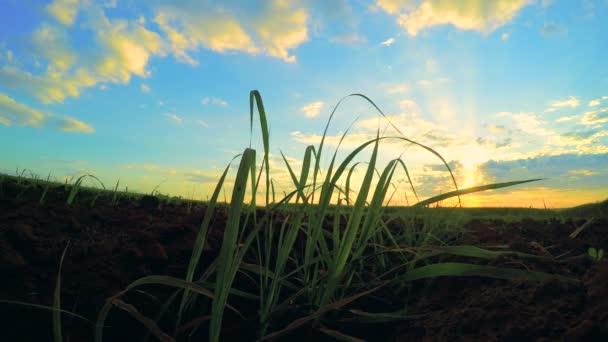 Cukornád naplemente ültetvény gyönyörű idő telik el