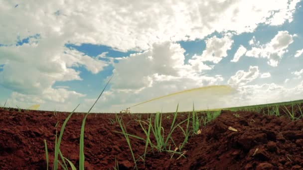 Cukornád naplemente ültetvény idő telik öntözés