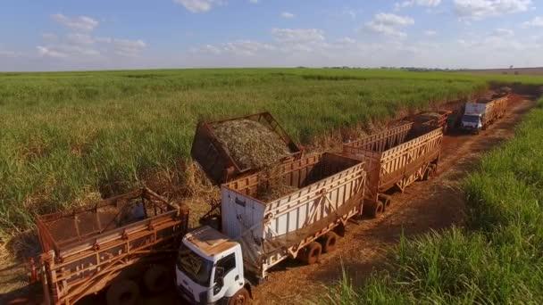 Cukornád hasvest ültetvény légi