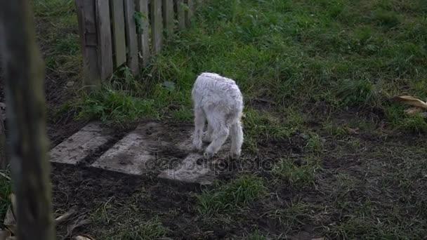 unglückliches Lamm geht auf das Gras