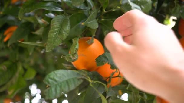 A mans rukou slzy zralých mandarinek ze stromu. Zemědělci si pomeranče v sadu. Španělsko