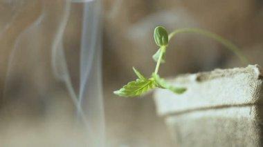 young small Cannabis plant and cigarette smoke macro