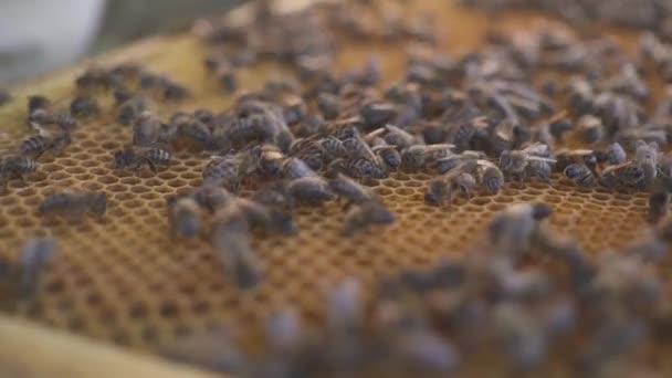 Bienen auf Waben. Imker entfernt Bienen vorsichtig aus dem Rahmen. Imkerei Makro. hd
