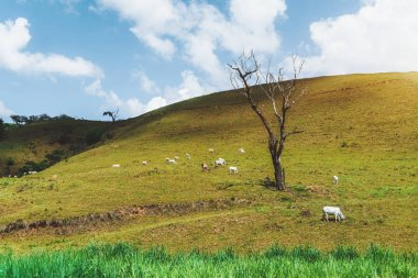 Grassland with cows and the dry tree