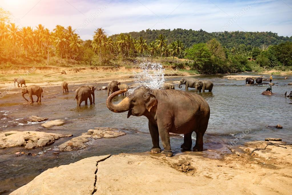 Elephants bathing in river.