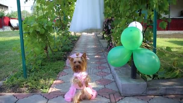 Yorkshire Terrier in the brides groom and wedding dress