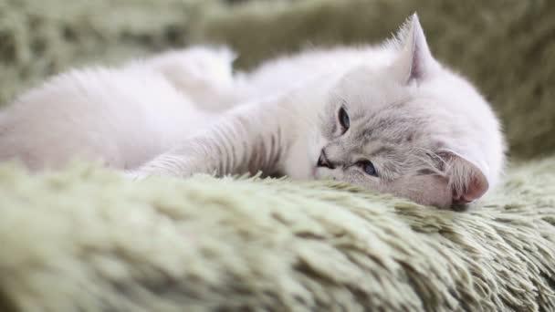 Matka kočka krmení její koťata, péče o dítě kotě