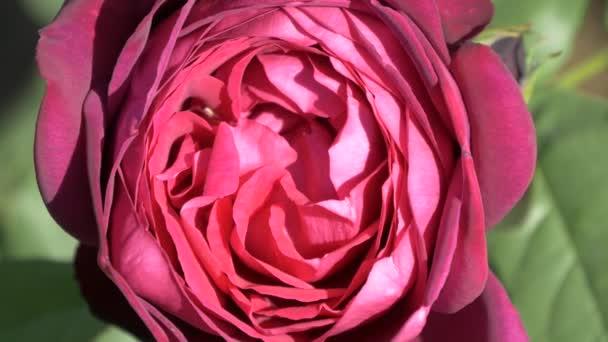 bíbor piros bordó Fehér Rózsa virág bimbó közelről
